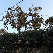 柿の枝切り