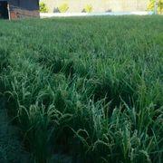 田んぼの草刈りつづき